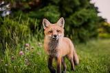 Curious Foxy