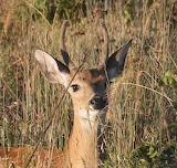 deer,Wichita Mountains,Oklahoma