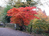 ^ Japanese Maple tree