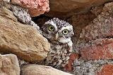 Athene-noctua_Little Owl2