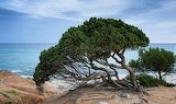 Jałowce na wybrzeżu Sardynii w Porto Sa Ruxi