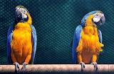 Macaw-birds - blauer Ara