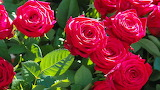 ^ Red roses