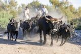 Camargue, cattle run, horses, men, cowboys