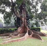 Nice roots, Kandy botanical gardens