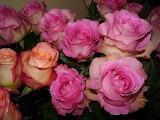 Roses buds flower