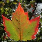 Maple leaf in Algonquin Provincial Park (Ontario, Canada)