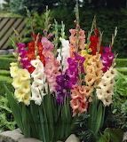Rainbow gladiolas