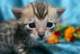 Very small silver bengal cat
