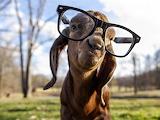 Goat-funny-animal-glasses