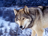 Beautiful Wolf...