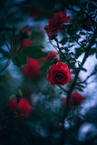 Pretty-Red-Rose-In-The-Garden-With-Dark-Green-Leaves-And-The-Sky