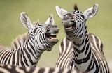 Peter-Haygarth Laughing-Zebra