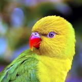 Little Yellow Parrot...