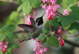 New From The Nest Male Humming Bird Seattle Washington USA