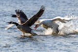 Altercation between Canadian goose and mute swan