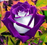 Purple and white rose