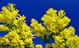 Mimosa Closeup Colored background 518242 1280x775