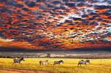Zebras of the Serengeti