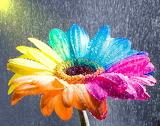 Happy Gerbera Rainbow Wet by HappyRoses