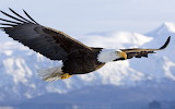 Bald Eagle Kodiak Island Alaska USA