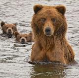 Brooks Falls Brown bear 132 with both cubs