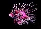 Pink-tiger-fish
