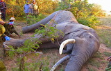 Sheldrick Successfully Removes 2 Poison Arrows from Bull~Kenya