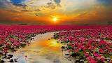 Sunshine-rising-lotus-flower-in-thailand