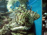 Lionfish and lens