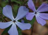 Flowers - Wild blue phlox