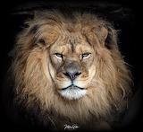 Cats - Avus - African Lion