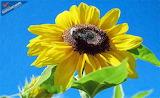Sun flower id 16235 9