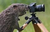 OMG! Beaver paparazzo