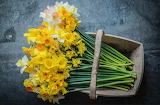 Cornish Daffodil Selection