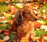 Autumn duchshund