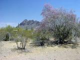 desert ironwood desert plants
