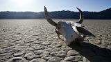 Desert Cow Skull
