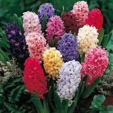 ^ Hyacinths