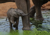 Elephant calf ~ Tsavo West