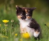 Kitten amongst Dandelions