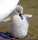 Cute Baby Swan...