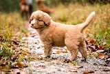 Dogs Puppy Nova Scotia Duck Tolling Retriever 569648 300x200