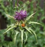 Ladybug on a Thistle 4.20.20