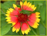 Grasshopper on a Blanket flower