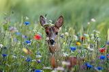 Deer in a Field of Flowers
