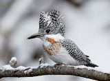 "Science tumblr currentsinbiology ""Male Crested Kingfisher"""