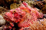 Scorpion Fish ~ Palau