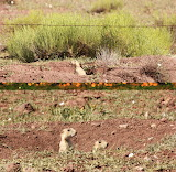 Prarie Dogs Along the Mother Road