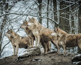 Russian wolves in the winter